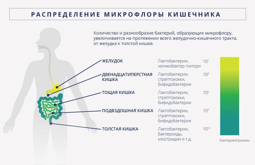 kоличество и разнообразие бактерий, которые образуют кишечную микрофлору, увеличивается по всему желудочно-кишечному тракту