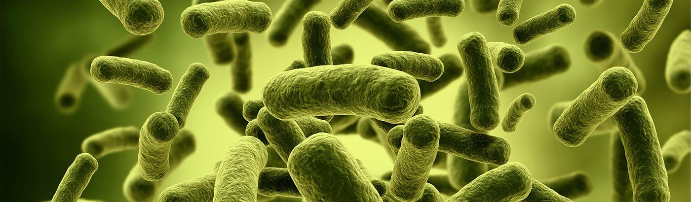 Бактерии Lactobacillus plantarum 299v