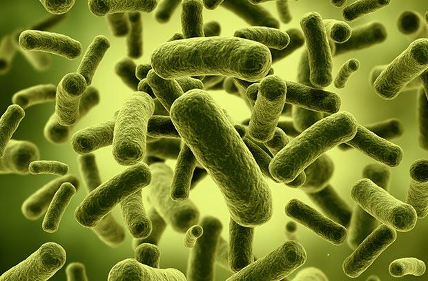 Lactobacillus plantarum 299v