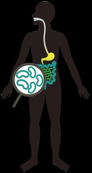 Бактерии Lactobacillus plantarum естественным образом присутствуют в микрофлоре кишечника